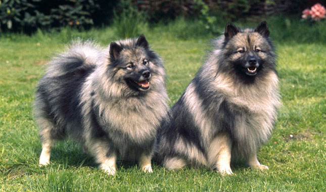 Keeshond And Cats Keeshond Breed Informa...