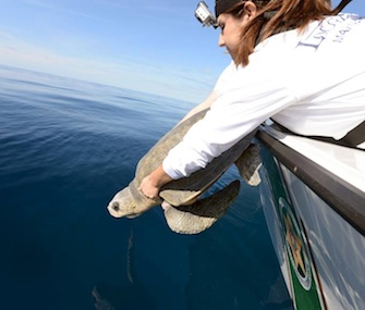Meghan, an olive ridley sea turtle, was released off Key West Thursday after a year of rehabilitation.