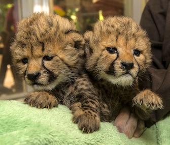 San Diego Zoo Safari Park cheetah cub sisters