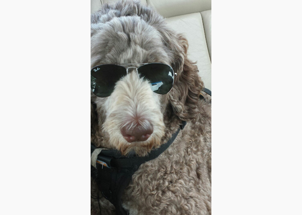 Murphy the Australian Labradoodle in glasses