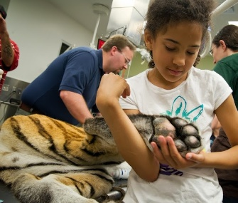 A young girl has a close encounter with Amur tiger Nikki at the Oregon Zoo.