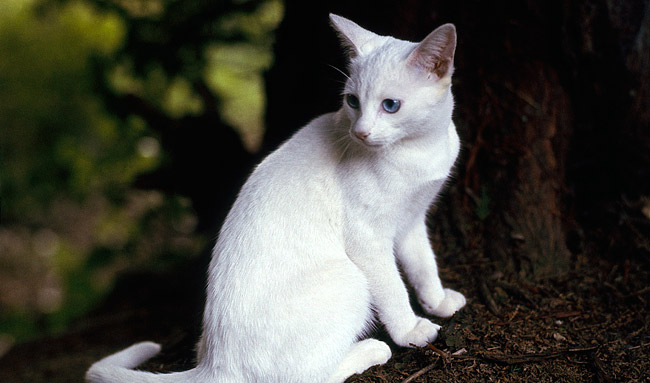 Oriental Cat Breed