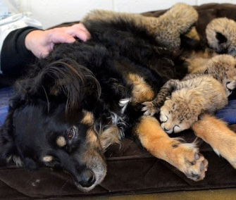 Blakely, an Australian Shepherd, cuddles with the Cincinnati Zoo's cheetah cubs.