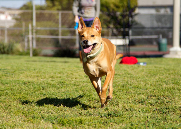 Basenji mix playing fetch.