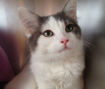 It's a mystery how Spice, a 6-month-old kitten, made it from New Mexico to Maine.