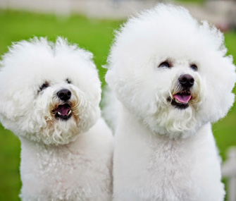 Bichon frises in a field