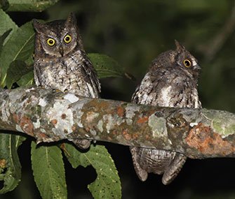 The Rinjani scops owl was discovered on the Indonesian island of Lombok.