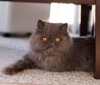 Persian Cat Breed