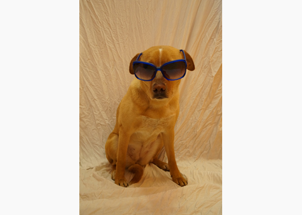 Ally the Lab/Australian Cattle Dog mix in sunglasses