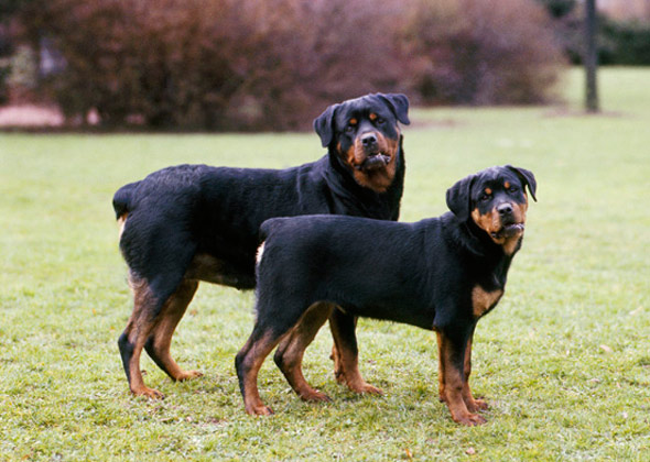 Two Rottweilers in Grass