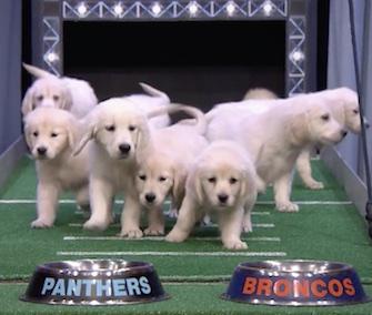 Jimmy Fallon's Golden Retriever Puppy Predictors went for the Denver Broncos.