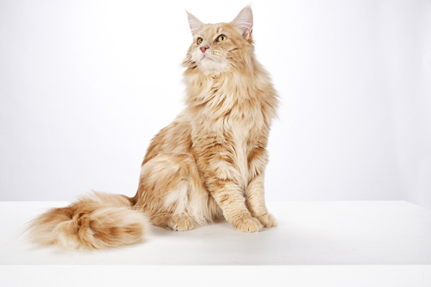 Maine Coon — The Gentle Giant