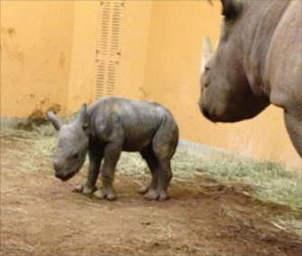 A critically endangered eastern black rhino was born at Zoo Atlanta on Saturday night.