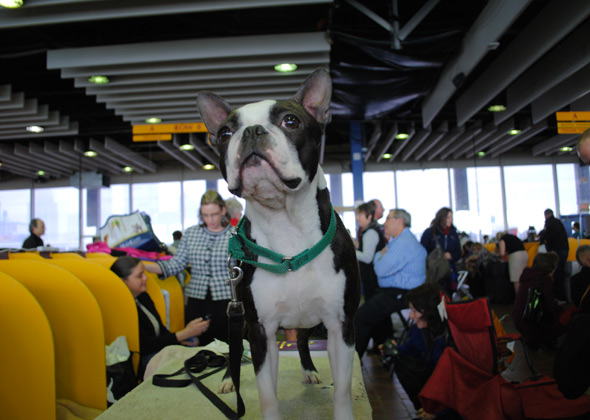 Boston Terrier at Westminster Dog Show