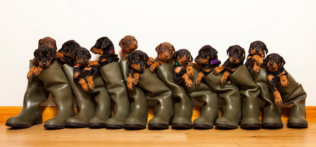 Record-breaking Doberman puppies