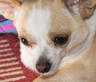 Chihuahua looking down