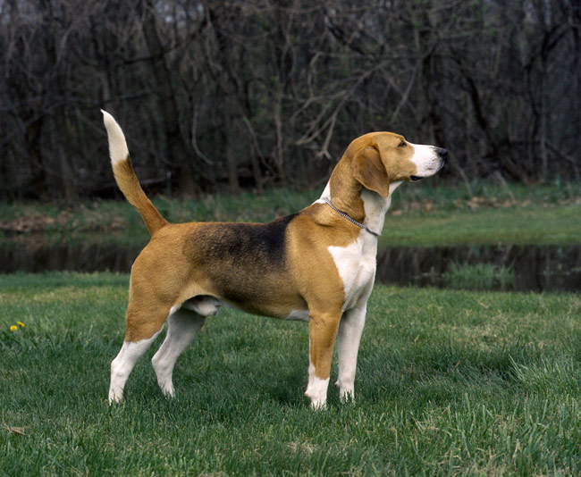 Small Breeds Of Hound Dogs