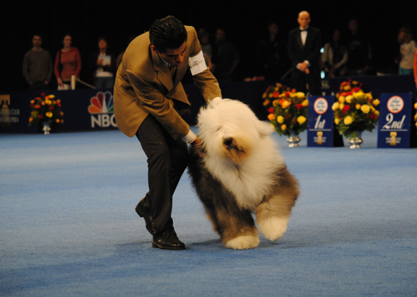 Old English Sheepdog at National Dog Show