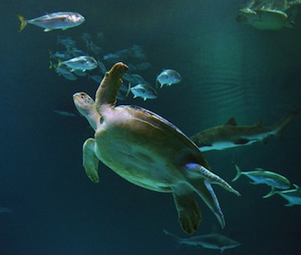 OD the sea turtle is settling in at the Shipwreck exhibit at the Mandalay Bay hotel and casino in Las Vegas.