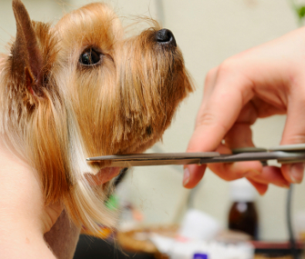 Dog getting fur clipped