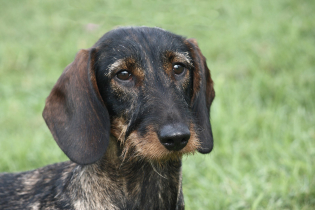 Kaninchen Dachshund: A Small But Attention-Getting Doxie