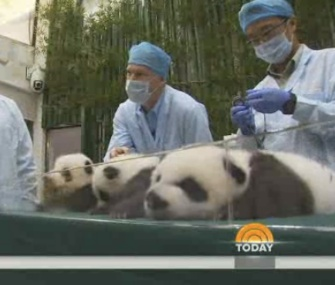 The rare panda triplets born in China are thriving.