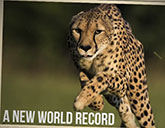 Sarah the cheetah breaks her own world record in the 100-meter dash