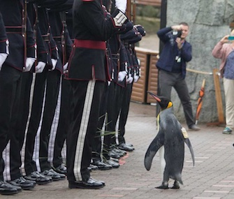 Nils Olav inspects the troops at Edinburgh Zoo after being promoted to brigadier.
