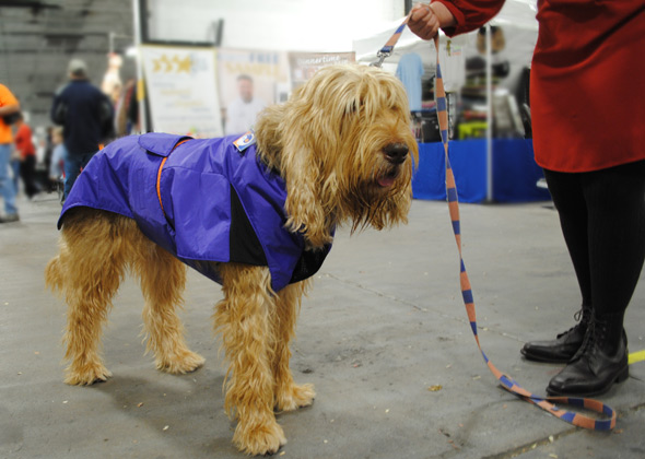 Otterhound models vest at National Dog Show