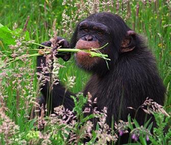 A chimpanzee eats plants