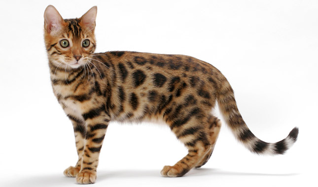 egyptian tiger cat