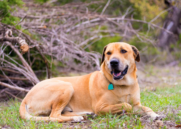 Blackmouth Cur dog breed