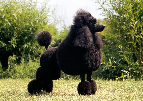 Poodle dog breed