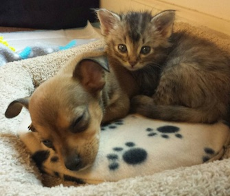 Chip the puppy and Adele the kitten have become fast friends at their foster home.