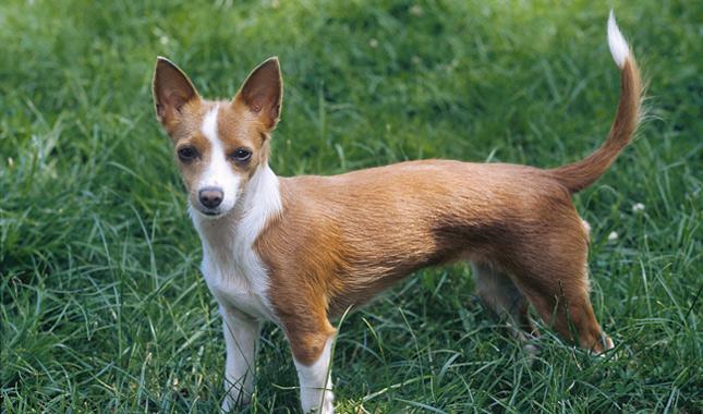 Portuguese Hunting Dog Breeds