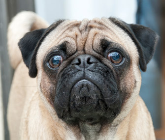 Pugs, Bulldogs, Persians and other wrinkled cats and dogs can suffer from skin fold dermatitis