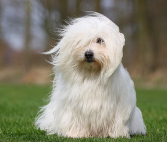 AKC recognizes Coton de Tulear and Wirehaired Vizsla as new breeds