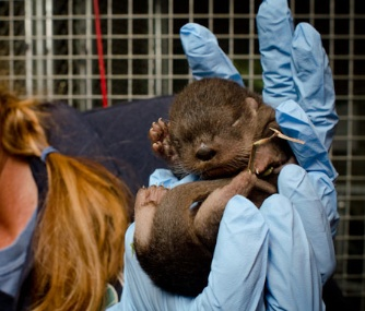 The Oregon Zoo's river otter pup was born on Nov. 8.