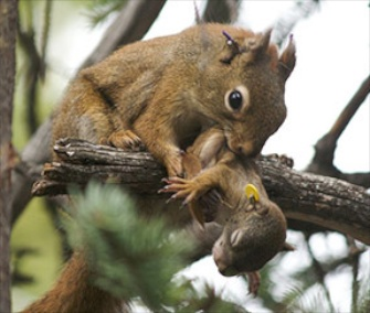 Red squirrel moms help their babies grow faster.