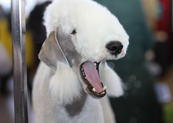 Westminster Bedlington Yawn