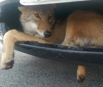 A young coyote got stuck in a car's grill after being hit last week.