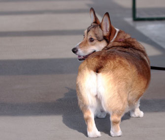 Corgi walking
