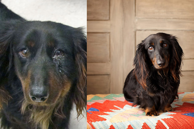 8 Adoption Success Stories from the Dallas-Fort Worth Dachshund Rescue