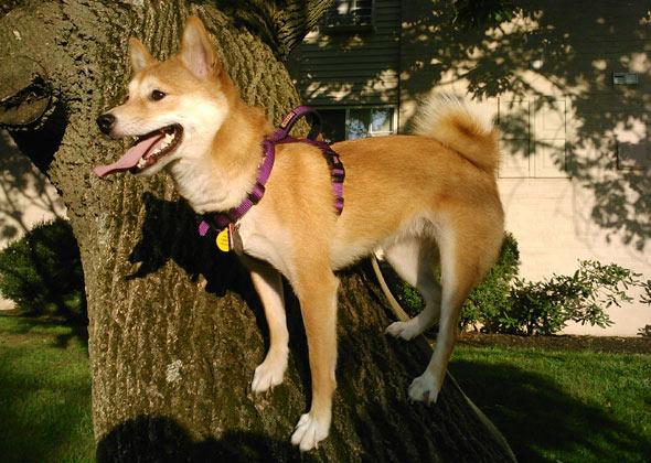 Shiba Inu climbs leaning tree.