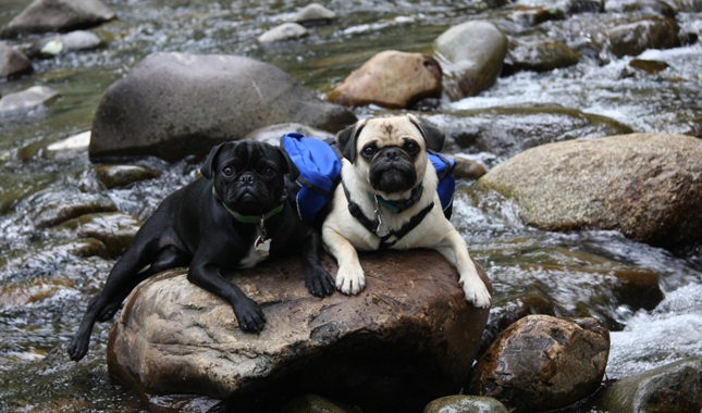 Mikkel Becker's Pugs Bruce and Willy