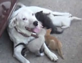 Molly the dog has adopted four kittens.