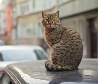 Lost Cat on Car