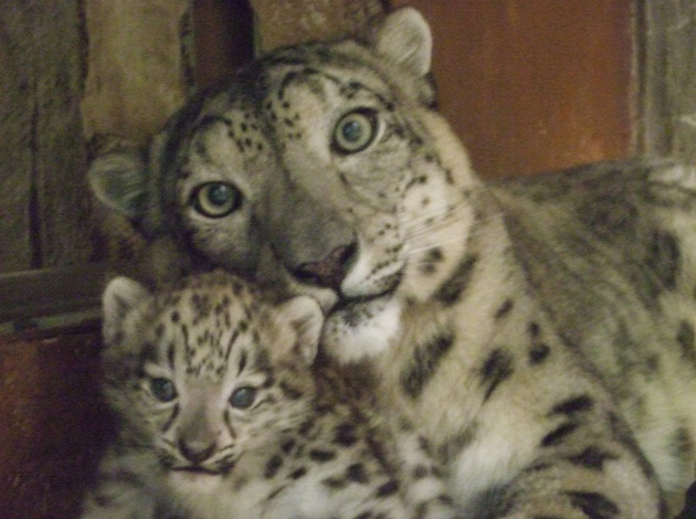 Snow leopard cub at Denver Zoo