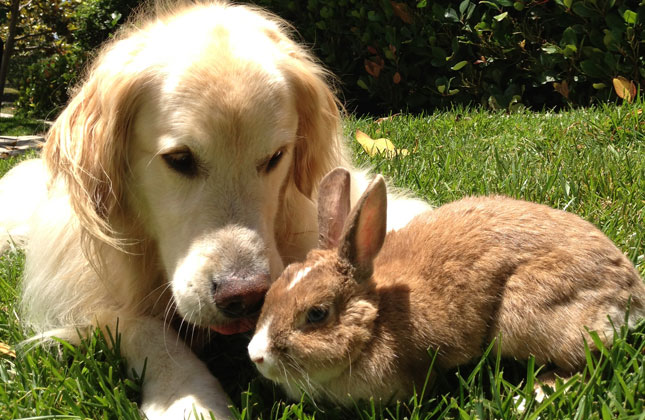 Golden Retriever With Rabbit