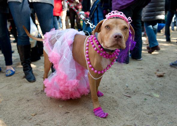 Dog Halloween Parade Pit Bull Princess